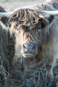 Glasbern Inn_Highland_cattle _Armen_Elliott_Photography